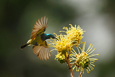 Souimanga Sunbird (Cinnyris sovimanga) adult male, in flight, feeding on nectar from flower in primary rainforest, Andasibe Mantadia National Park, Eastern Madagascar, august  -  Hugh Lansdown/ FLPA