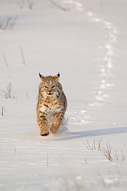 Bobcat (Lynx rufus) adult, running in snow, Montana, U.S.A., january (captive)  -  Paul Sawer/ FLPA