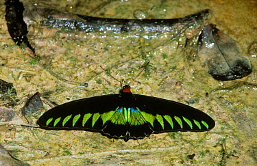 Rajah Brooke's Birdwing Butterfly (Troides brookiana) Male drinking  -  Albert Visage/ FLPA