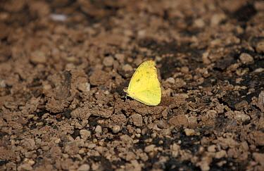 Galapagos Sulphur Butterfly (Phoebis sennae marcellina)  -  David Hosking/ FLPA