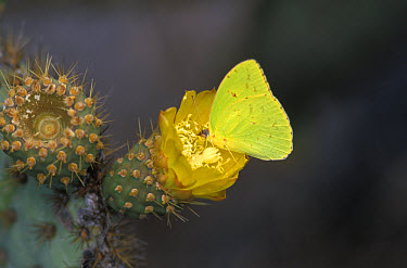 Galapagos Sulphur Butterfly (Phoebis sennae marcellina) Urvina Bay  -  David Hosking/ FLPA