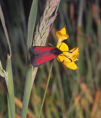 Moth, Burnet Transparent (Zygaena purpuralis) on flower  -  G E Hyde/ FLPA