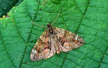Red-Green Carpet Moth (Cloeoclysta siterata) On leaf, wings open, Mistley  -  Ian Rose/ FLPA