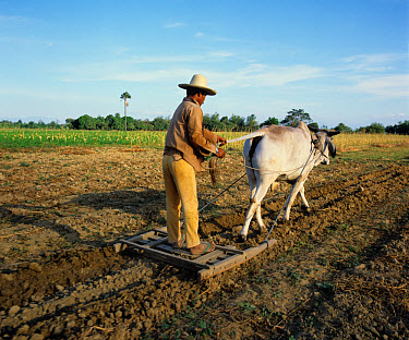 Filipino farmerbreaking up ploughed field by satanding on a small press behind a Brahman ox, Luzon, Philippines  -  Nigel Cattlin/ FLPA