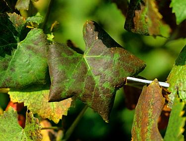 Grapevine leaf roll virus symptoms on Pinot Noir grape leaves  -  Nigel Cattlin/ FLPA