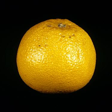 Whole grapefruit fruit variety Sunfruit  -  Nigel Cattlin/ FLPA