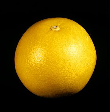 Whole citrus fruit grapefruit variety Marsh Seedless  -  Nigel Cattlin/ FLPA