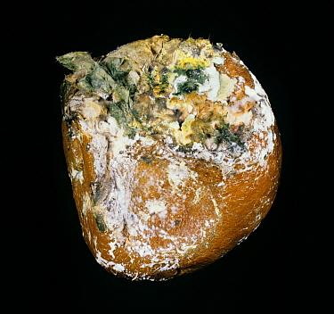 Brown rot (Trichoderma sp) green storage mould on a grapefruit fruit  -  Nigel Cattlin/ FLPA