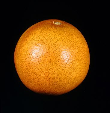 Whole grapefruit fruit variety Marsh Ruby  -  Nigel Cattlin/ FLPA
