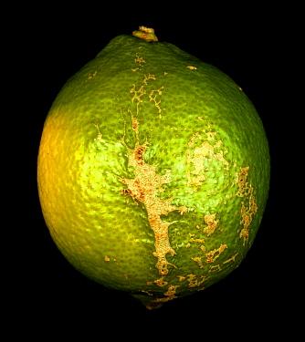 Wind scarring on lemon skin, fruit damage on the tree  -  Nigel Cattlin/ FLPA