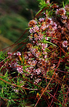 Common dodder (Cuscuta epithymum) flowers of parasitic plant on gorse foliage  -  Nigel Cattlin/ FLPA