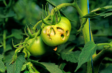 Tomato fruitworm (Helicoverpa armigera) damage to tomato fruit, Portugal  -  Nigel Cattlin/ FLPA