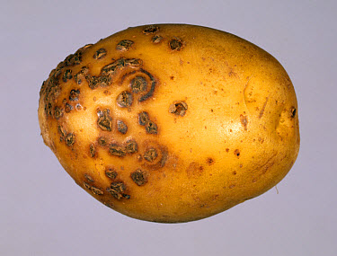 Potato mop top virus lesions with powdery scab pustules on a potato tuber  -  Nigel Cattlin/ FLPA