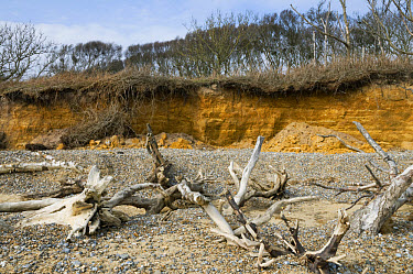Coastal cliff erosion, dead trees on beach after falling over edge of crumbling cliffs, Covehithe, Benacre National Nature Reserve, Suffolk, England, march  -  David Burton/ FLPA