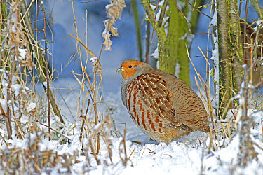 Grey Partridge (Perdix perdix) adult, standing in snow at bottom of hedgerow, Leicestershire, England, november  -  Martin Withers/ FLPA