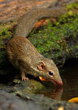 Northern Treeshrew (Tupaia belangeri) adult, drinking from forest pool, Kaeng Krachan National Park, Thailand, february  -  Neil Bowman/ FLPA