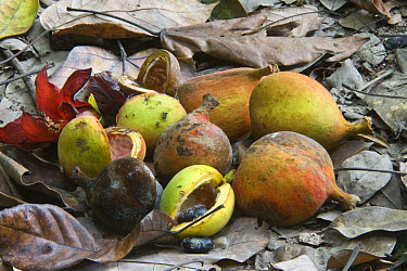 Wild Nutmeg (Swartzia caribaea) fruits on forest floor, Central Forest, St. Lucia, Windward Islands, Lesser Antilles  -  Krystyna Szulecka/ FLPA