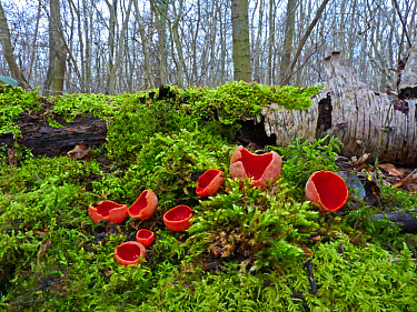 Scarlet Elf Cup (Sarcoscypha coccinea) fruiting bodies, growing on mossy bank in woodland, Leicestershire, England, february  -  Martin Withers/ FLPA