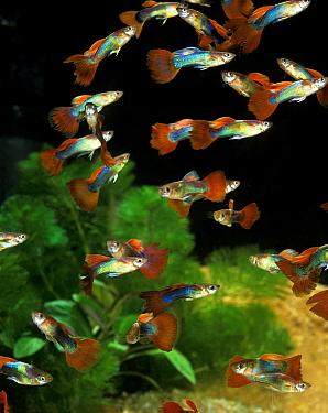 Guppy (Poecilia reticulata) domesticated form, adults, shoal swimming, in aquarium  -  Gerard Lacz/ FLPA
