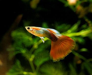 Guppy (Poecilia reticulata) domesticated form, adult, swimming, in aquarium  -  Gerard Lacz/ FLPA