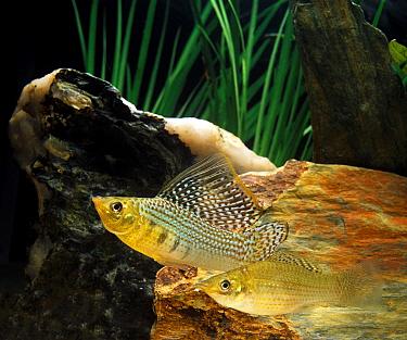 Sailfin Molly (Poecilia latipinna) adult pair, swimming, in aquarium  -  Gerard Lacz/ FLPA