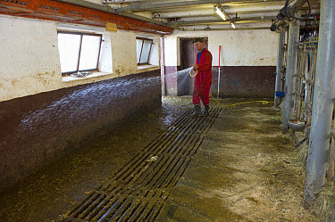 Dairy farmer cleaning milking parlour with hose after morning milking, Tierp, Sweden, july  -  Bjorn Ullhagen/ FLPA