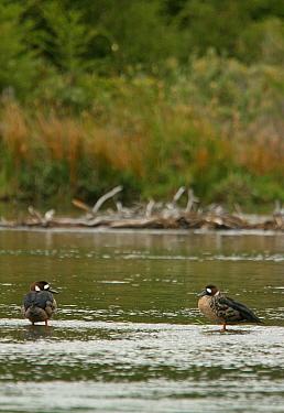 Bronze-winged Duck (Speculanas specularis) adult pair, standing in water, Tierra del Fuego National Park, Tierra del Fuego, Argentina, february  -  James Lowen/ FLPA