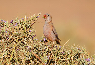 Trumpeter Finch (Rhodopechys githaginea) adult male, feeding on thorny bush, near Erg Chebbi, Morocco, february  -  Ignacio Yufera/ FLPA