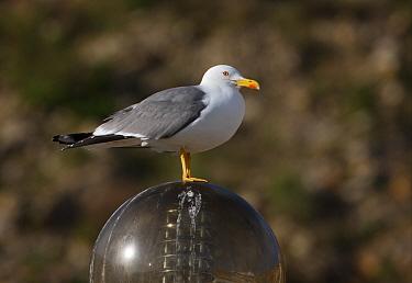 Yellow-legged Gull (Larus michahellis) adult, summer plumage, standing on street light, Algarve, Portugal, april  -  Neil Bowman/ FLPA