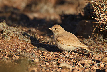 Bar-tailed Lark (Ammomanes cinctura) adult, standing on ground, near Erg Chebbi, Morocco, february  -  Ignacio Yufera/ FLPA