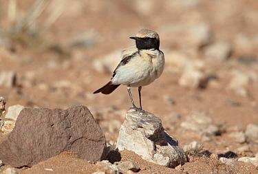 Desert Wheatear (Oenanthe deserti) adult male, standing on rock, Erg Chebbi, Morocco, february  -  Ignacio Yufera/ FLPA