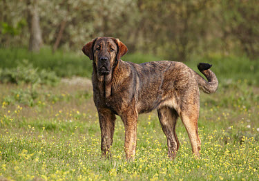 Domestic Dog, Spanish Mastiff, immature female, standing, Extremadura, Spain, april  -  Ignacio Yufera/ FLPA