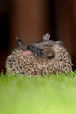 European Hedgehog (Erinaceus europaeus) young, anointing itself with saliva froth, on garden lawn at night, Yorkshire, England, september  -  Paul Miguel/ FLPA