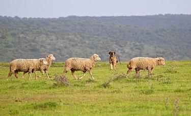 Domestic Sheep, Merino, flock walking in grassland, guarded by Spanish Mastiff, Extremadura, Spain, april  -  Ignacio Yufera/ FLPA