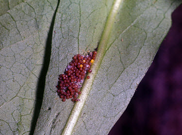 Marsh Fritillary (Euphydryas aurinia) eggs  -  G E Hyde/ FLPA