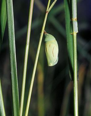 Small Heath (Coenonympha pamphilus) pupa  -  G E Hyde/ FLPA
