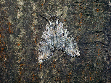 Grey Arches (Polia nebulosa) adult  -  G E Hyde/ FLPA