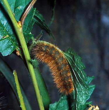 Buff Ermine (Spilosoma luteum) larva  -  G E Hyde/ FLPA