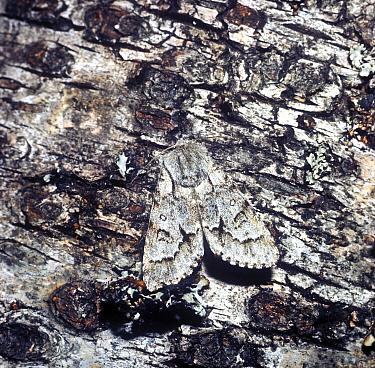 Light Knot Grass Moth (Acronicta menyanthidis) adult  -  G E Hyde/ FLPA
