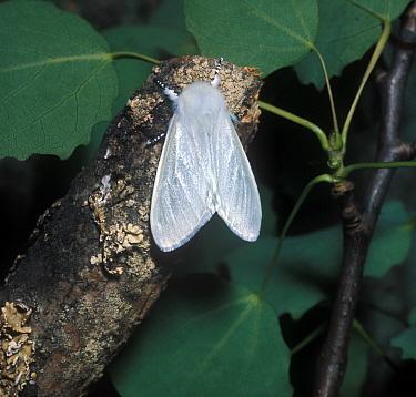 White Satin Moth (Leucoma salicis) adult  -  G E Hyde/ FLPA