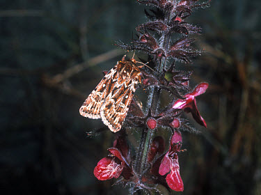 True Lover's Knot (Lycophotia porphyrea) adult  -  G E Hyde/ FLPA