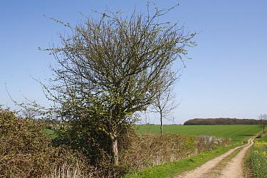Wild Crabapple (Malus sylvestris) habit, growing at edge of track in farmland, Barking Tye, Suffolk, England, april  -  Marcus Webb/ FLPA
