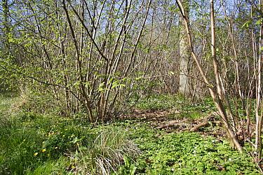 Common Hazel (Corylus avellana) ancient coppiced woodland habitat, Combs Wood Reserve, Combs Ford, Suffolk, England, april  -  Marcus Webb/ FLPA