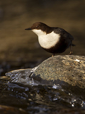 Black-bellied Dipper (Cinclus cinclus cinclus) adult, standing on rock in river, Finland, march  -  Jules Cox/ FLPA