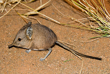 Short-eared Elephant Shrew (Macroscelides proboscideus) adult, standing on sand, Loxton, Northern Cape, South Africa  -  Chris & Tilde Stuart/ FLPA