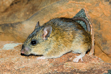 Namaqua Rock Rat (Aethomys namaquensis) adult male, standing on rock, Aarfontein, Northern Cape, South Africa  -  Chris & Tilde Stuart/ FLPA