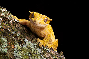 New Caledonian Crested Gecko (Rhacodactylus ciliatus) adult, resting on branch, New Caledonia  -  Chris Mattison/ FLPA