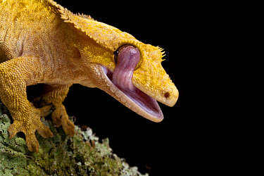 New Caledonian Crested Gecko (Rhacodactylus ciliatus) adult, close-up of head, licking eye with tongue, New Caledonia  -  Chris Mattison/ FLPA