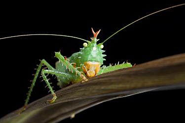 Spiny Devil Katydid (Panacanthus cuspidatus) adult, resting on leaf, Napo, Amazonia, Ecuador  -  Chris Mattison/ FLPA