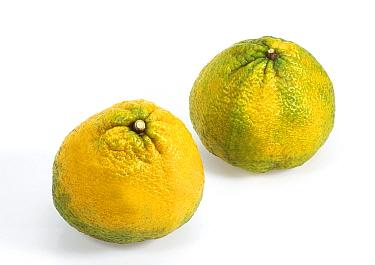 Ugli Fruit (Citrus reticulata x paradisi) grapefruit x tangerine hybrid, fruit  -  Gerard Lacz/ FLPA